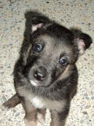 Rijjana, chien Berger allemand