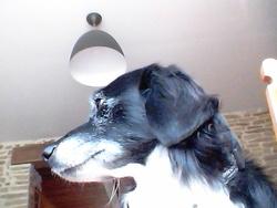 Riki, chien Teckel