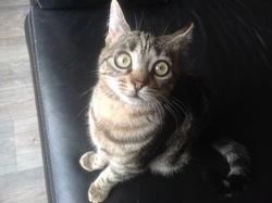 Rikiki, chat Européen