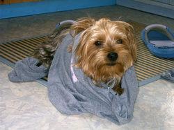 Riko, chien Yorkshire Terrier
