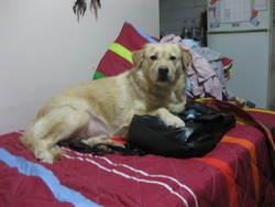 Riko, chien Golden Retriever
