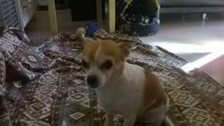 Rim'K, chien Chihuahua
