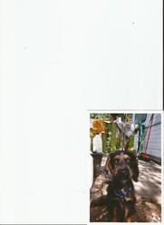 Rimbaud, chien Cocker anglais