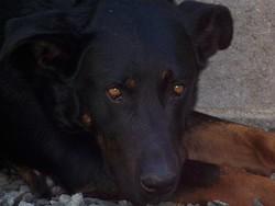 Ringo, chien Beauceron
