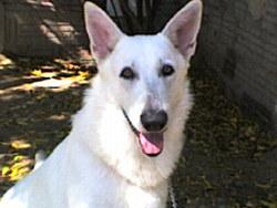 Ringo Star, chien Berger blanc suisse