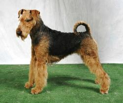 Rio, chien Airedale Terrier