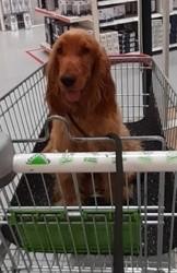 Rio, chien Cocker anglais
