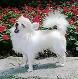Riouka, chien Chihuahua