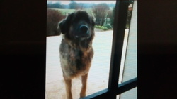 Rip Babou, chien Leonberger