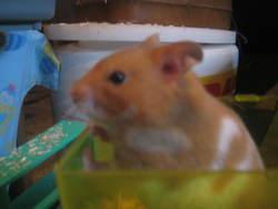 Rip Caramel, rongeur Hamster