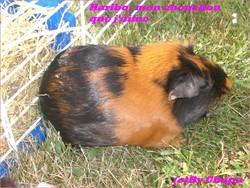 Rip Haribo, rongeur Cochon d'Inde