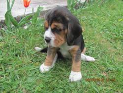 Riqui, chien Beagle
