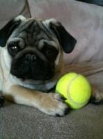 Riri, chien Carlin
