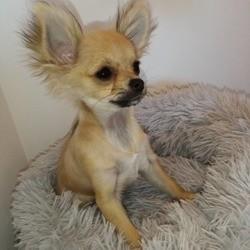 Riska, chiot Chihuahua