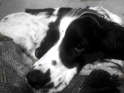 Rita , chien Welsh Springer Spaniel