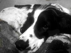 Rita , chien Welsh Springer Spaniel