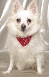 Rita, chien Épagneul nain continental