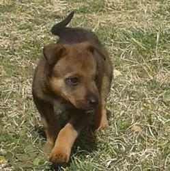 Rita, chien Berger allemand
