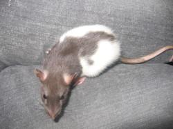Rita, rongeur Rat