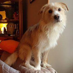 Ritchie, chien Petit Basset Griffon vendéen