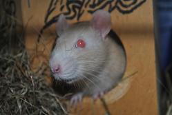 Ritchy, rongeur Rat