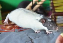 Riton, rongeur Rat