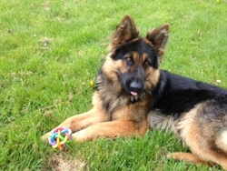 Rity, chien Berger allemand