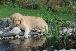 Ritzy, chien Labrador Retriever