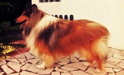 River, chien Colley à poil long
