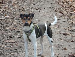 Robin, chien Terrier brésilien