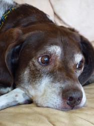 Robin, chien Braque allemand à poil court