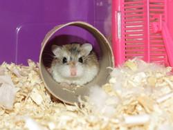 Robo, rongeur Hamster