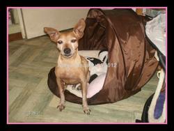 Roby, chien Pinscher