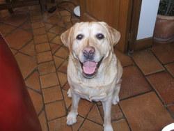 Roca, chien Labrador Retriever