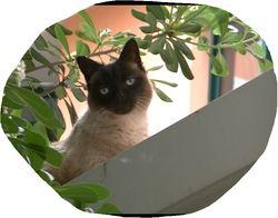 Rocco, chat Siamois