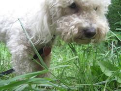 Rocco, chien Bichon à poil frisé