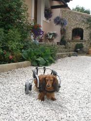 Rocco , chien Teckel