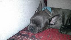 Rocco, chien Bouledogue français