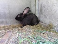 Rocco, rongeur Lapin