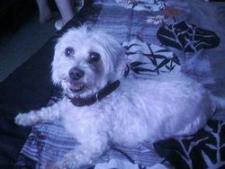 Rocephine, chien Bichon maltais