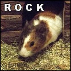 Rock, rongeur Cochon d'Inde