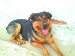 Rocki, chien Rottweiler