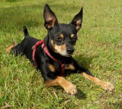 Rocky, chien Pinscher