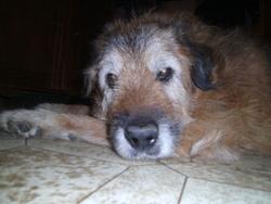 Rocky Décédé Le 12 Octobre 2012, chien Berger allemand