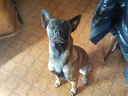 Rocky, chien Berger belge