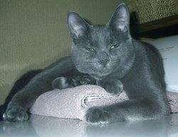 Rocky, chat Chartreux