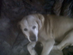 Rocky, chien Labrador Retriever