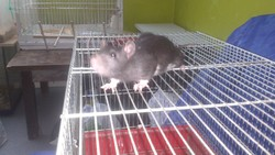 Rocky, rongeur Rat
