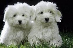 Rocky, chien Coton de Tuléar