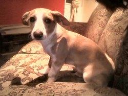 Rocky, chien Teckel